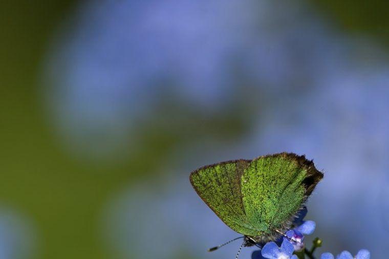 Neka kavkaski nezaboravak stvori nezaboravnu lepotu u vašem dvorištu!