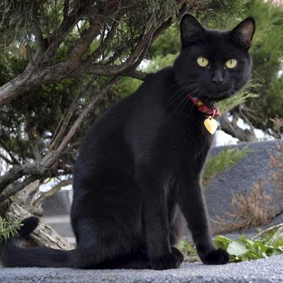 Na udaru satanista: Crne mačke pod zaštitom za Noć veštica