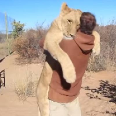 Neizmerna ljubav divlje zveri i čoveka: Zahvalnost lavice koja će vas duboko dirnuti! (VIDEO)