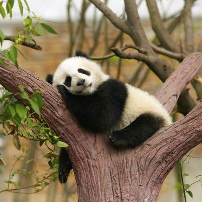 Neverovatno: Panda glumila trudnoću da bi dobila bolju hranu!