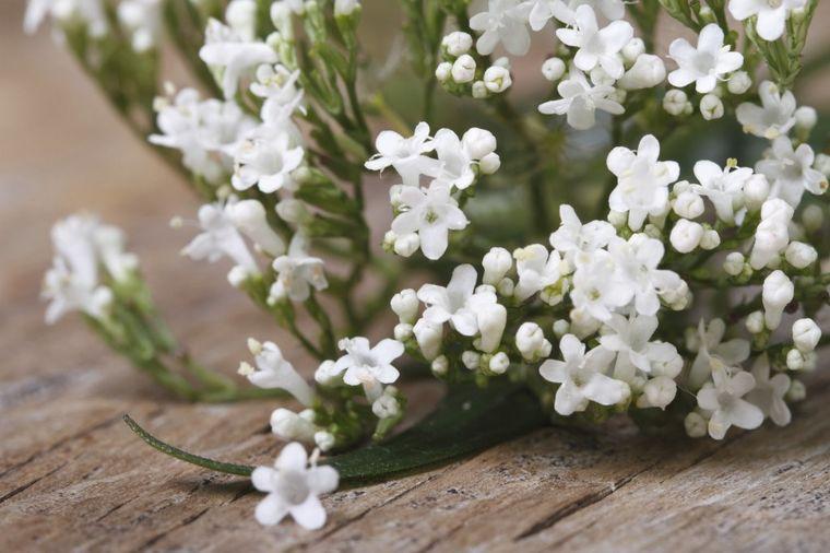Foto: Thinkstock / Valerijana (Valeriana officinalis)