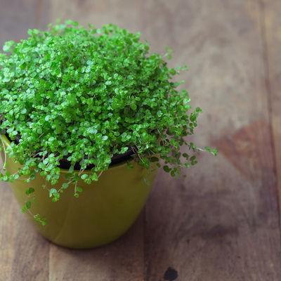 Kućna sreća, idealna biljka za dom: Veruje se da donosi veselje!