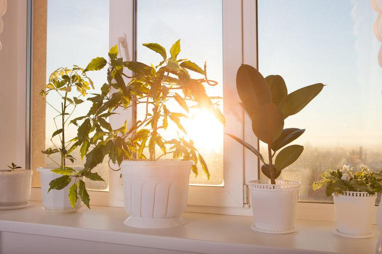 Kad sobna biljka počne da vene: Uradite ovo i oporaviće se preko noći!
