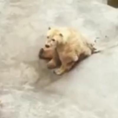 Tuga do neba: Patnja nesrećnog polarnog mede u beogradskom Zoo vrtu! (VIDEO)