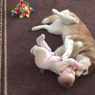 Ostavili bebu sa haskijem: Kad su ušli u sobu, imali su šta da vide! (VIDEO)