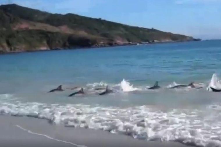 Nasukanom jatu delfina pretila smrt na obali: A onda se desilo čudo! (VIDEO)
