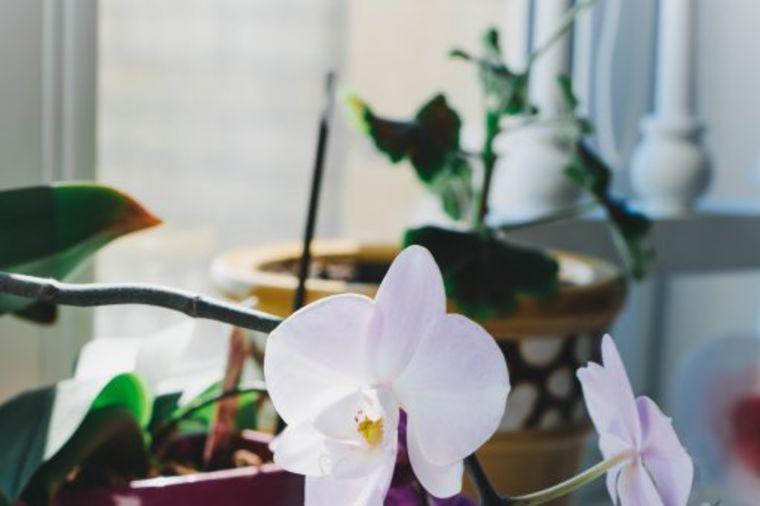 Ovako se pravilno neguje orhideja: Da cveta i raste kao od šale!
