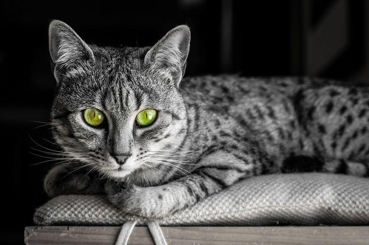 Upoznajte kraljevsku mačku: Zašto deci treba da nabavite baš ovog ljubimca!