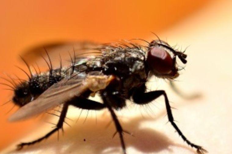 Najezda crnih mušica u Srbiji: Njihov ujed nije bezazlen, može da izazove gušenje!