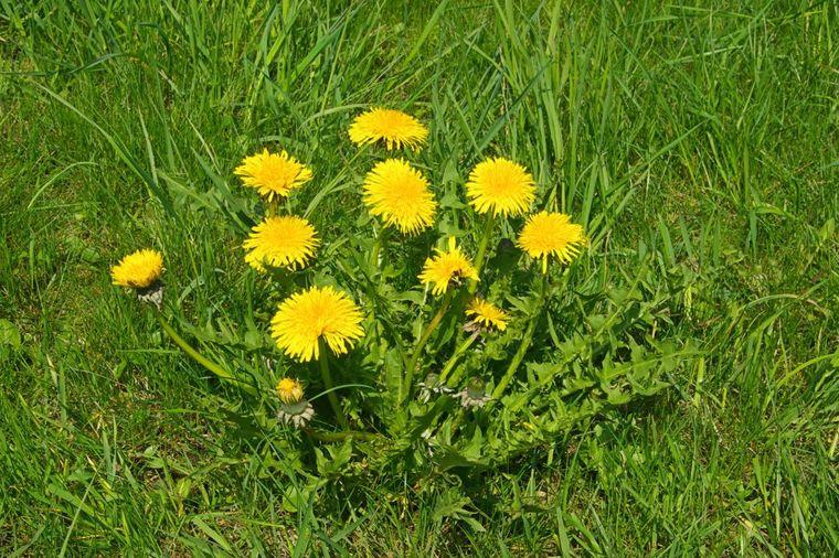 Najlekovitija biljka raste nam u dvorištu: Koren leči rak, list čisti organizam, a cvet daje snagu!