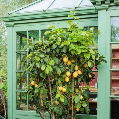 Zasadite limun u saksiji na ovaj način: Imaćete neograničene zalihe cele godine!