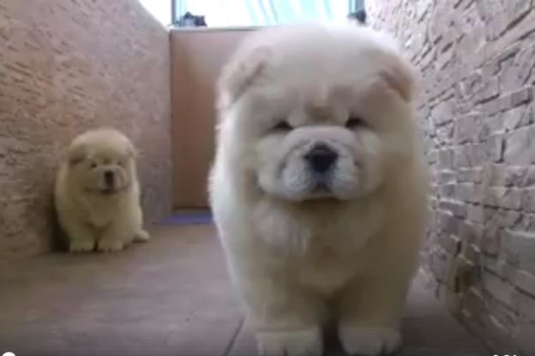 Zašto je 7 miliona ljudi pogledalo ovaj video: Dva najslađa šteneta ikada! (VIDEO)