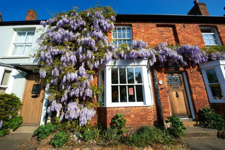 Glicinija, veličanstvena puzavica: Najlepši ukras dvorišta, štiti od komšijskih pogleda! (FOTO)