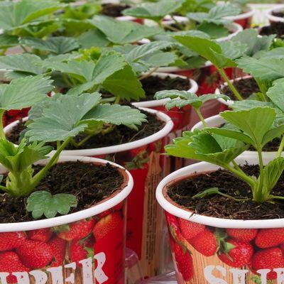 Ne ulažete ni dinar, a imate voće i povrće bez pesticida: Uzgajanje u čašama je apsolutni hit (FOTO)