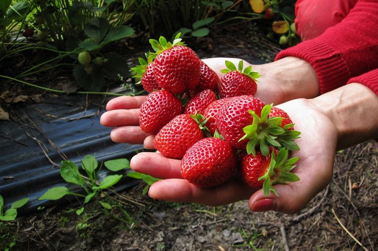Zarada od jagoda dobra za proizvođače i sezonske radnike