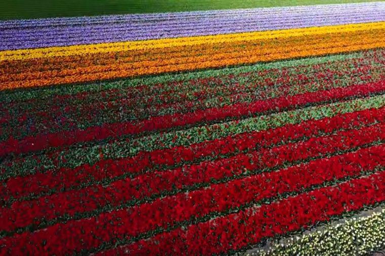 Nestvarna lepota prirode: Holandiju krasi najraskošnije polje lala na svetu! (VIDEO)