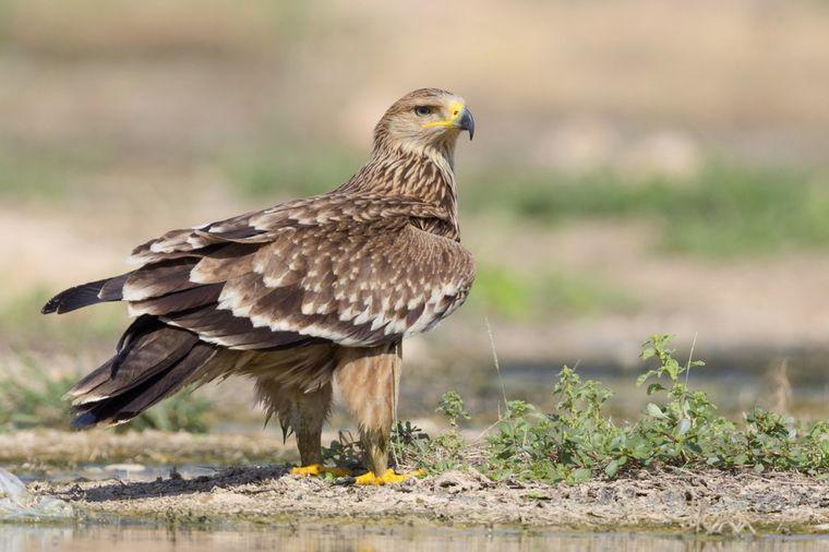 Vest koja je rastužila Srbiju: Orao krstaš izumire, kod nas preostao samo jedan par sa ptićima!