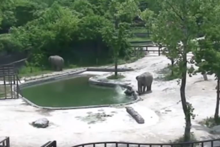 Slonče upalo u bazen i počelo da se davi: Snimak njegovog spasavanja oduzima dah! (VIDEO)