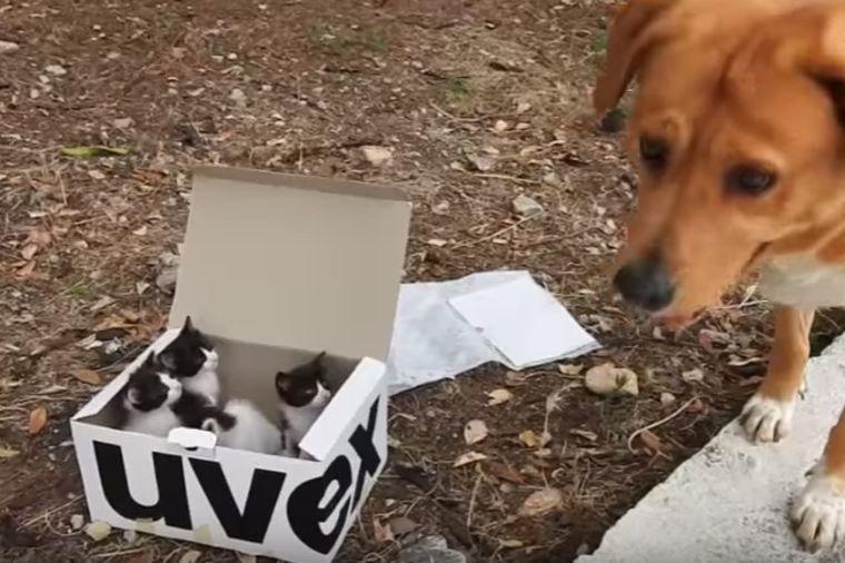 Pas pronašao kutiju sa napuštenim mačićima: Vlasnicima priredio šok života! (VIDEO)