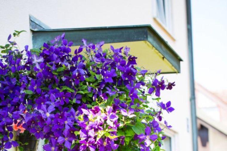 Omiljeni cvet baštovana: Klematis ispunjava želje dobrim ljudima, ovako ga gajite! (FOTO)
