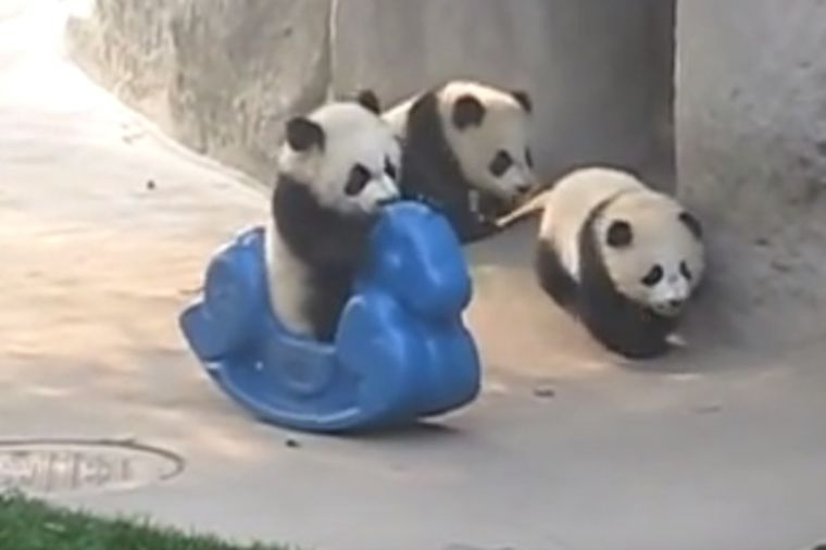 Pandama ubacili plastičnog ponija: Nešto najslađe što ćete videti danas! (VIDEO)