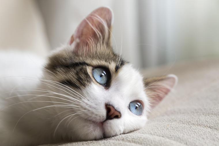 Videi maca