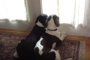 Šta psi rade kada odete iz stana: Snimak koji vas neće ostaviti