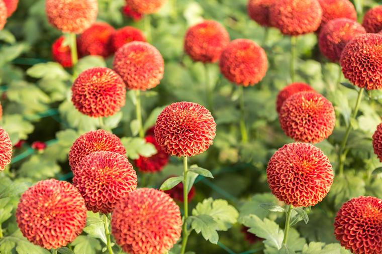 Hrizantema Cveće Koje Se Nosi Na Groblje