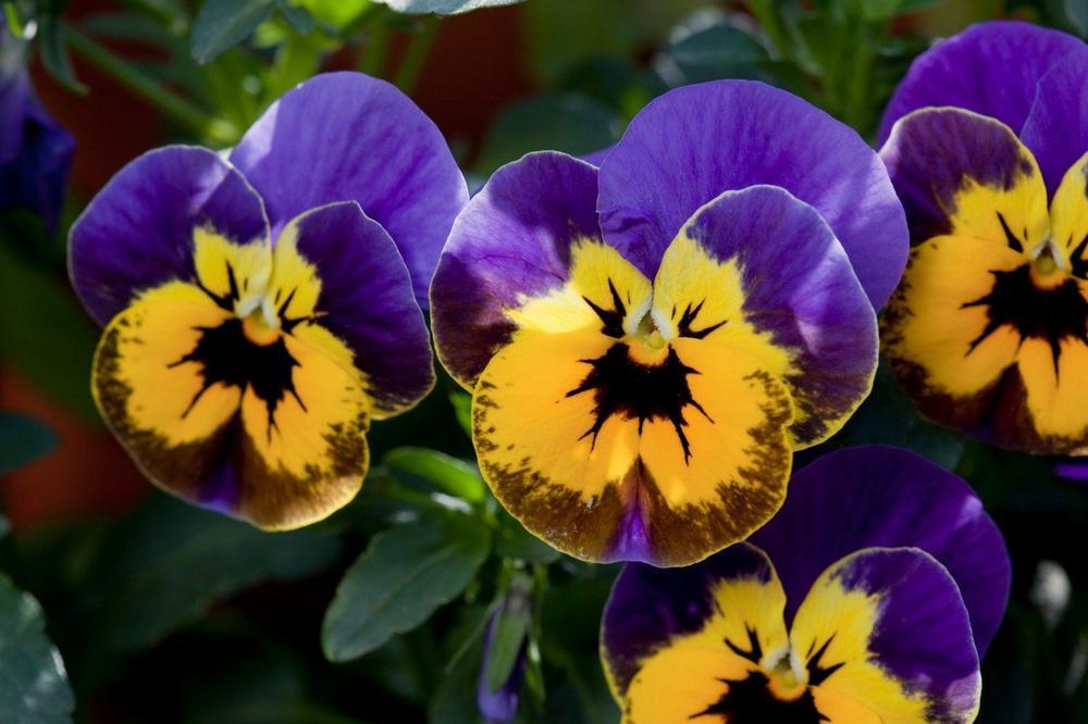 Jedini cvet koji preživi zimu: Niske temperature mu ništa ne mogu, on ponosno pokazuje svoje boje ispod snega!