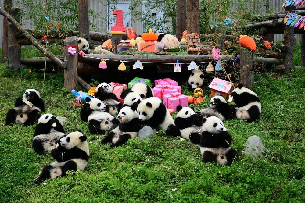 Kad 18 pandi proslavlja 1. rođendan: Dobrodošli u najsmešnije obdanište na svetu!