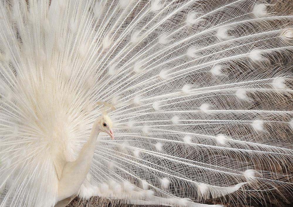 Samo priroda može nedostatak da pretvori u savršenstvo: Albino životinje nestvarne lepote