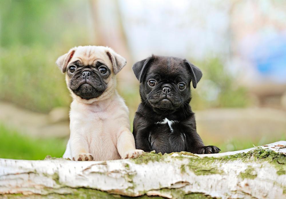 Mops, pas, kuče, Kućni Ljubimac