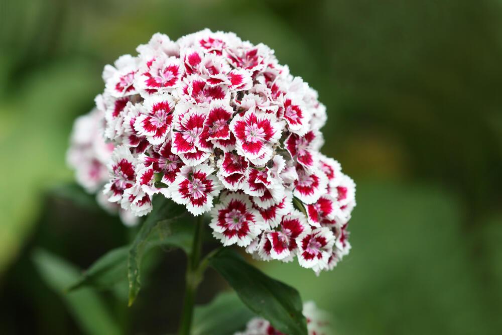 SVAKA KUĆA U JUGOSLAVIJI IMALA JE OVAJ CVET U BAŠTI: A onda smo svi zaboravili na njega! Nema otpornije biljke od OVE!